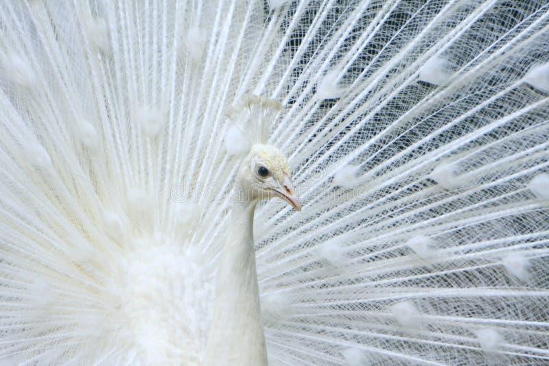 peacock λευκό στοκ φωτογραφία με δικαίωμα ελεύθερης χρήσης