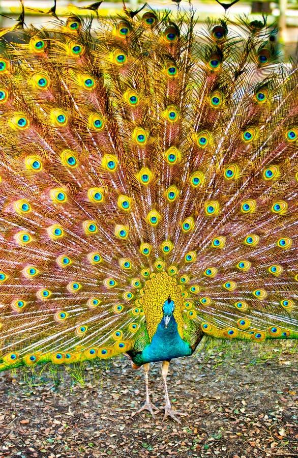 Peacock με τα ανοικτά φτερά στοκ εικόνες