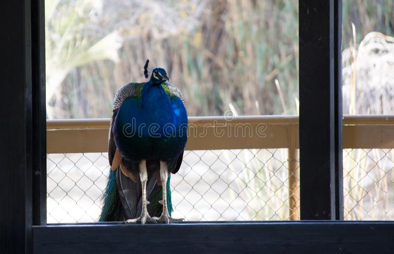 Peacock με την ανοικτή ζωηρόχρωμη ουρά Όμορφο peacock που επιδεικνύει το φτέρωμά του επενδύει με φτερά έξω peacock στοκ εικόνα με δικαίωμα ελεύθερης χρήσης