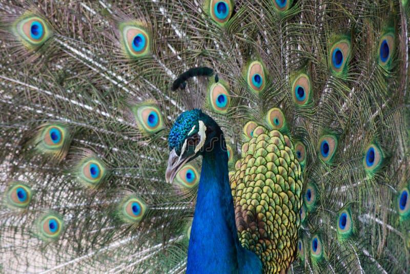 Peacock με την ανοικτή ζωηρόχρωμη ουρά Όμορφο peacock που επιδεικνύει το φτέρωμά του επενδύει με φτερά έξω peacock στοκ εικόνα