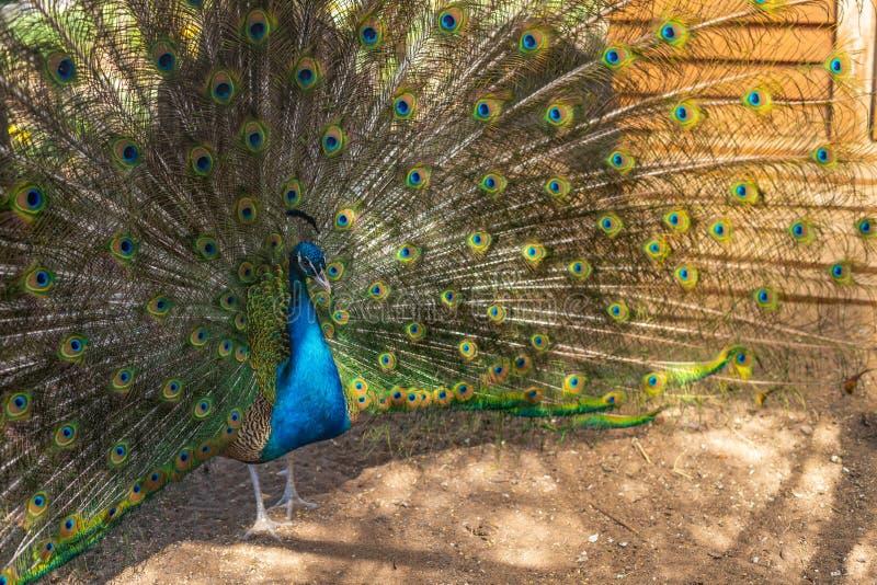 Peacock με το πλήρες φτέρωμα στην εποχή ζευγαρώματος ανοικτή Μια στενή επάνω φωτογραφία πράσινου Peafowl, Peacock που ανοίγει το  στοκ εικόνες