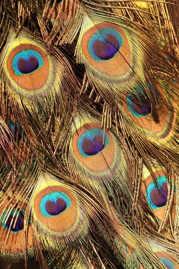peacock ουρά στοκ εικόνες με δικαίωμα ελεύθερης χρήσης