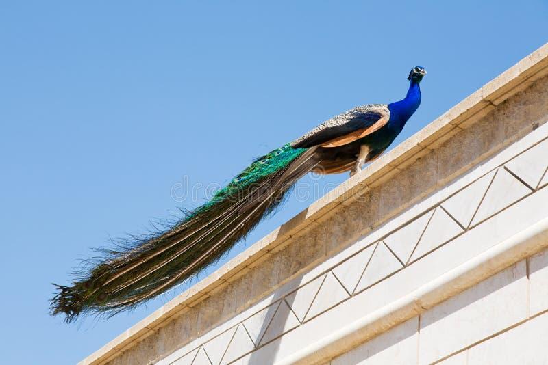 Peacock που αναρριχείται επάνω στη στέγη στοκ φωτογραφία