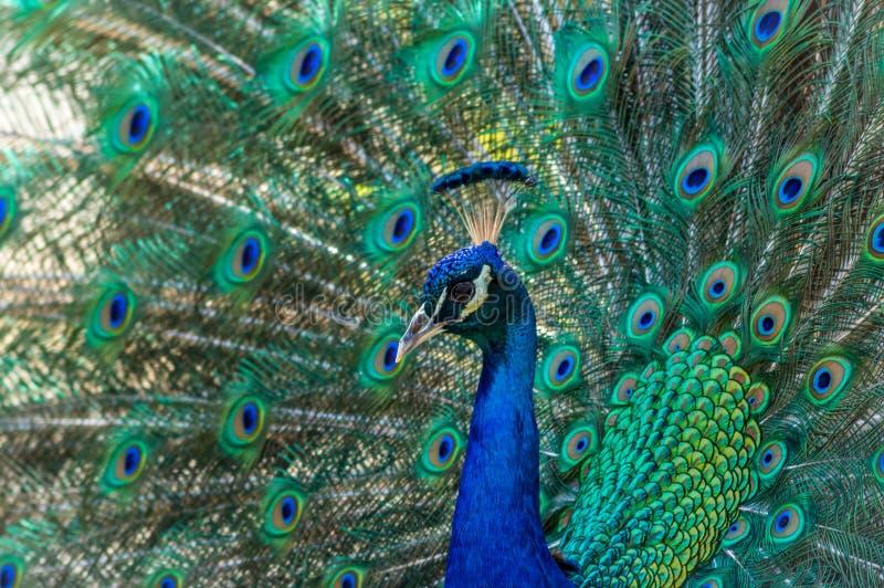 Peacock που επιδεικνύει το λαμπρό φτέρωμα στα μπλε και πράσινα χρώματα στοκ φωτογραφία με δικαίωμα ελεύθερης χρήσης