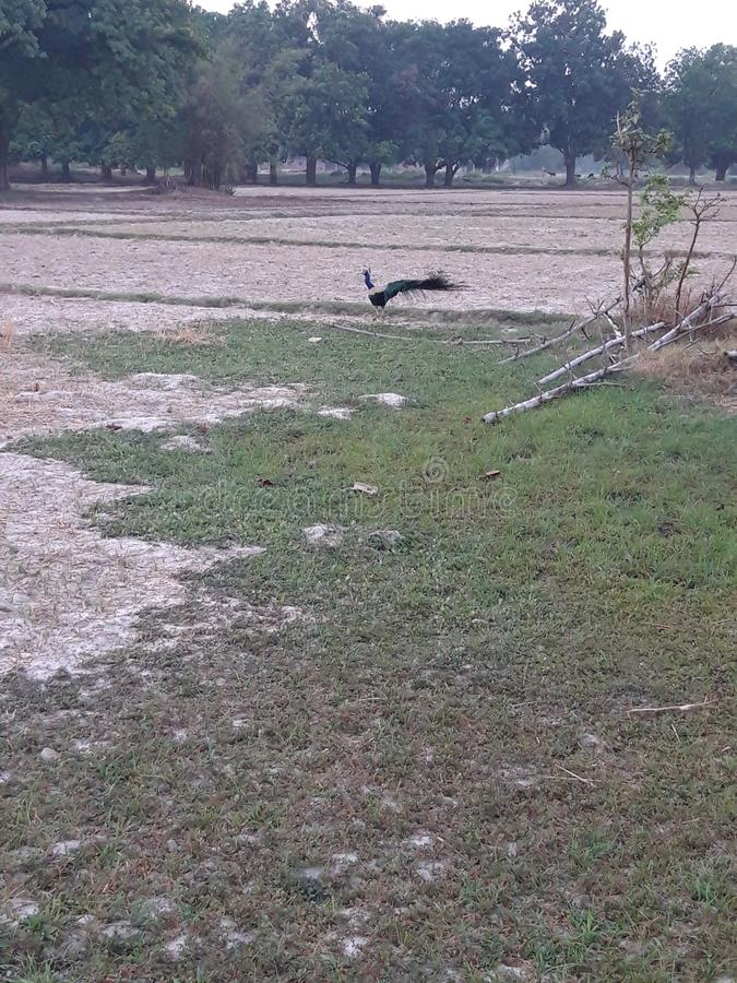 Peacock στον τομέα στοκ φωτογραφία με δικαίωμα ελεύθερης χρήσης
