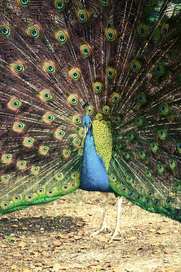 Peacock στο τροπικό δάσος με τα φτερά έξω, αναδρομικό φίλτρο φωτογραφιών στοκ φωτογραφία με δικαίωμα ελεύθερης χρήσης