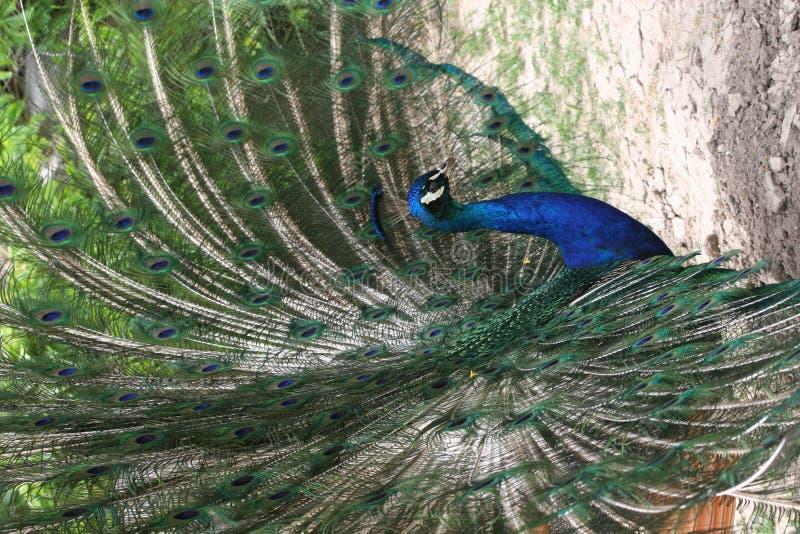 peacock υπερήφανος στοκ φωτογραφίες με δικαίωμα ελεύθερης χρήσης