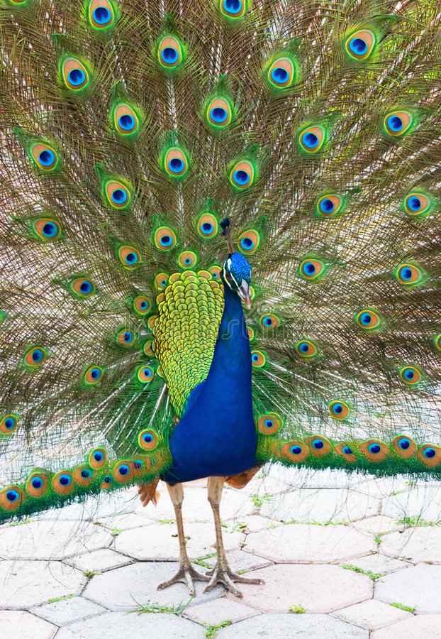 Peacock 10 royalty free stock images