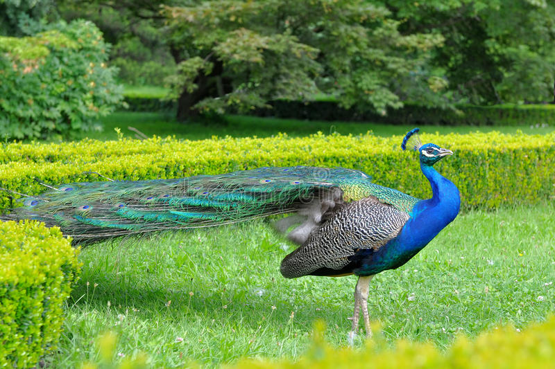 Download Peacock stock image. Image of bill, colorful, color, head - 10389971