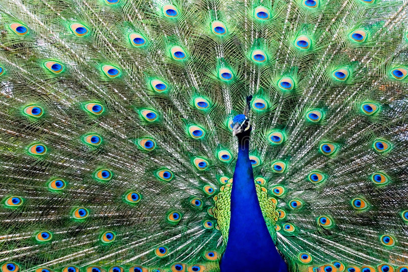 Peacock 11 stock images
