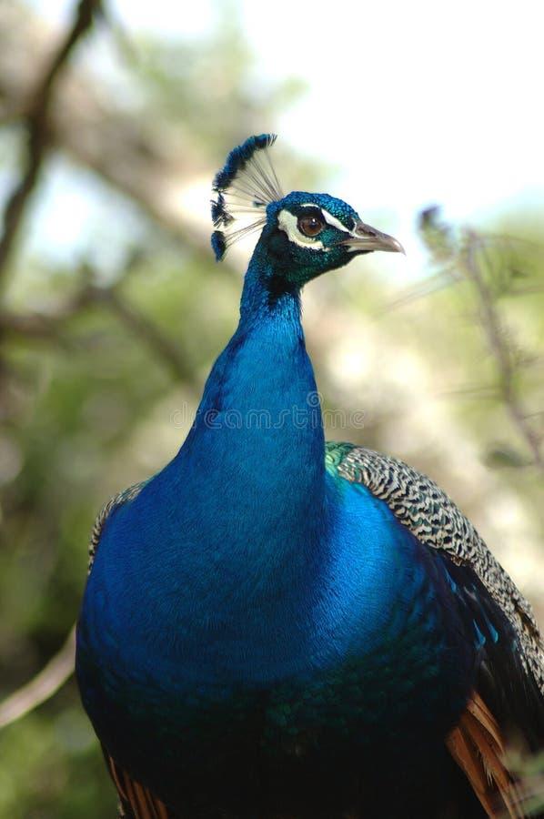 Peacock imagenes de archivo