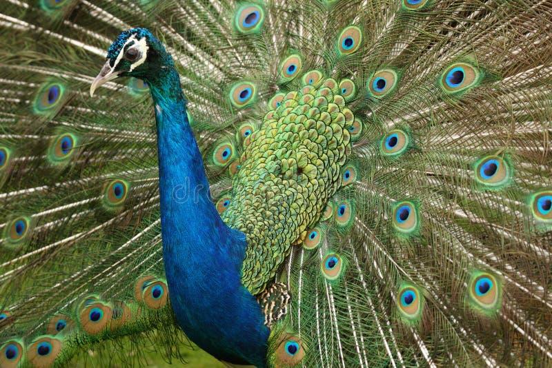 Peacock stock image