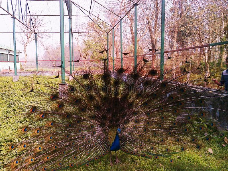 Peacock στοκ φωτογραφία