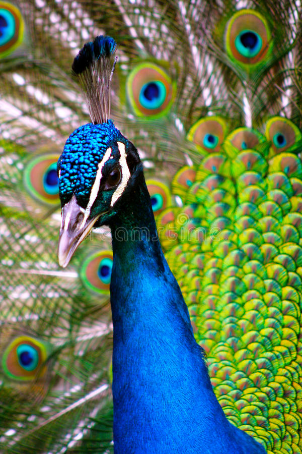 Free Peacock Stock Photography - 13948712