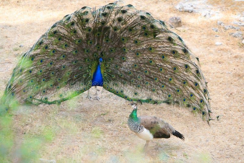peacock στοκ φωτογραφίες