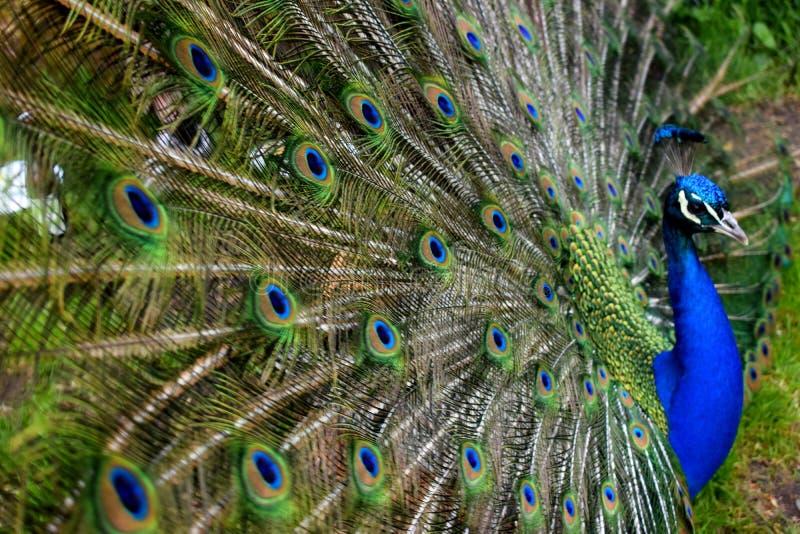 Peacock Free Public Domain Cc0 Image