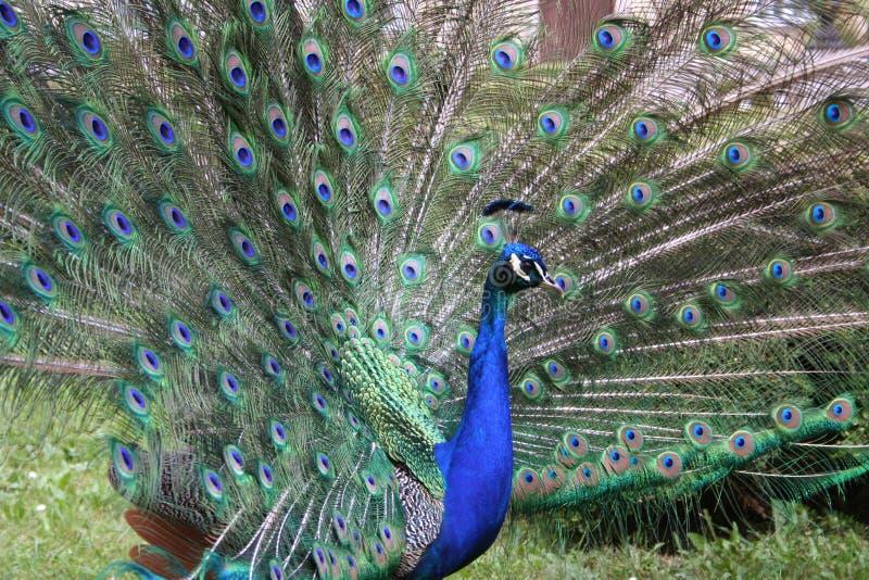 Peacock stock photos