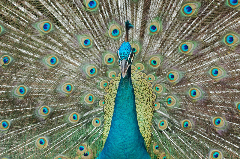 Download Peacock stock photo. Image of feathers, mating, expression - 1714268