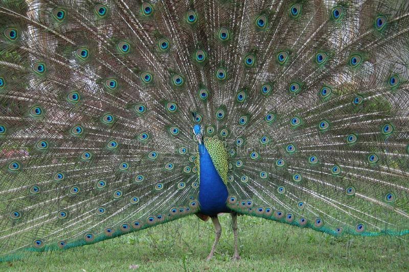 Download Peacock stock image. Image of travel, summer, moon, king - 17197267