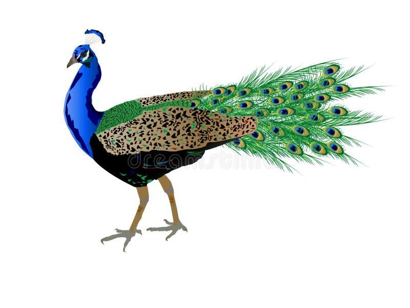 Peacock stock illustration