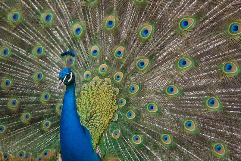 Peacock royalty free stock images