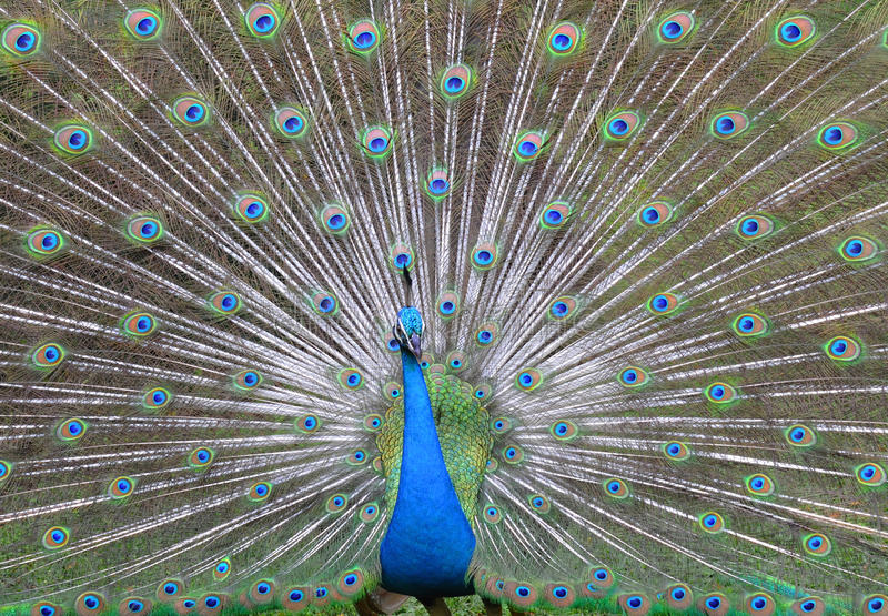 Download Peacock. stock photo. Image of elegance, texture, nature - 19983484