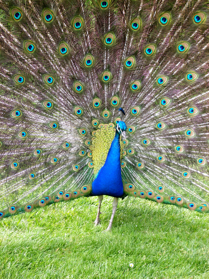 Peacock. 2