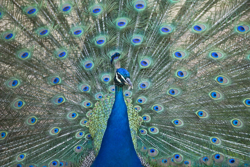 Download Peacock stock photo. Image of feather, green, blue, fauna - 20238214