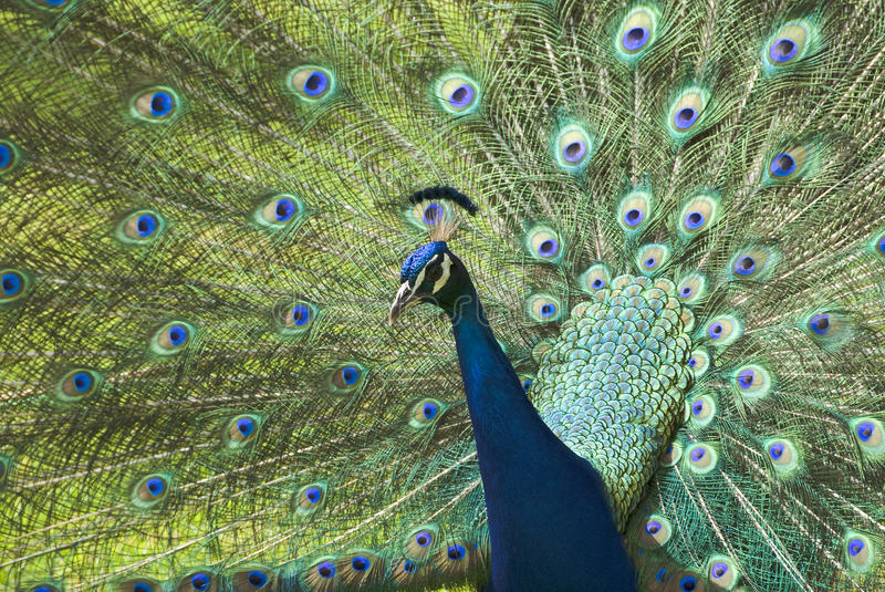 Download Peacock stock photo. Image of animal, blue, peacock, tail - 21555738