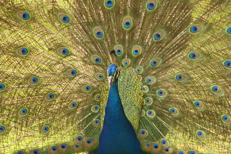 Download Peacock stock photo. Image of tropical, feather, nature - 21801172