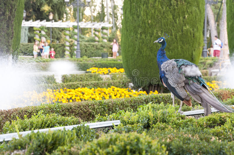 Download Peacock. stock image. Image of hedge, flower, aves, colourful - 22677947