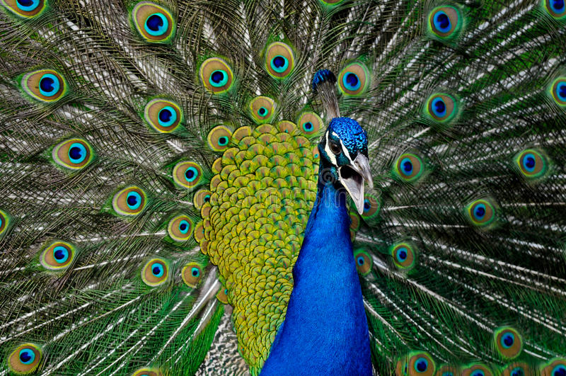 Download Peacock Stock Images - Image: 24088174