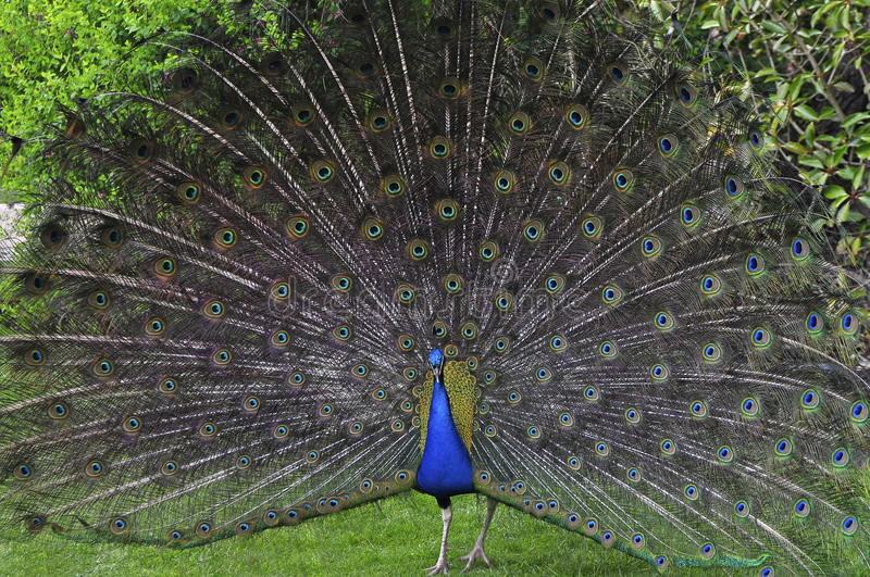 Download Peacock stock photo. Image of nature, brecon, colors - 24462036