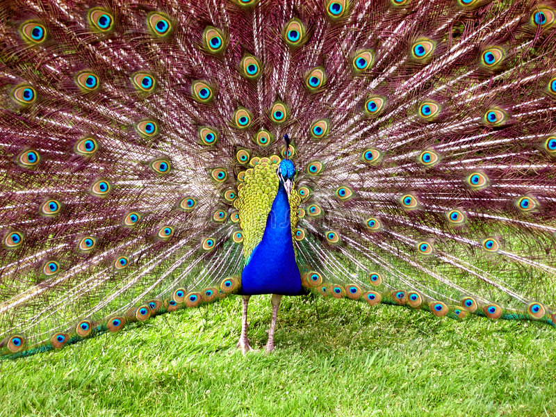 Download Peacock. stock photo. Image of beck, distracting, green - 253086