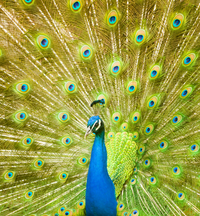 Peacock. A peacock displaying its brilliant colors