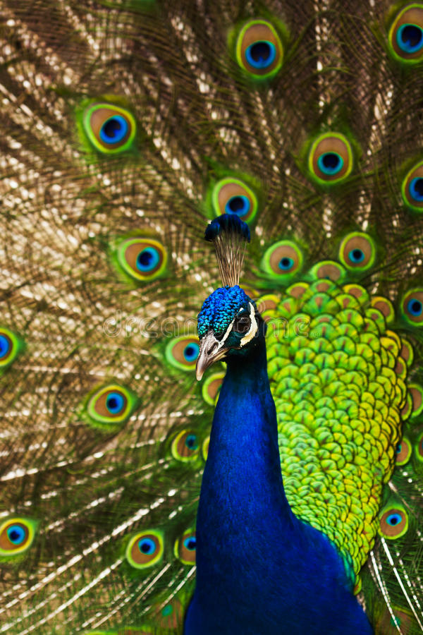 Download Peacock stock image. Image of elegance, colorul, feather - 25599009