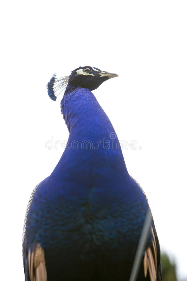 Free Peacock 3 Royalty Free Stock Photos - 4464098