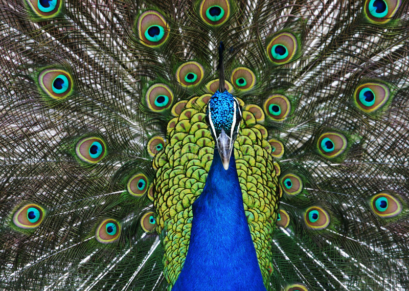 Download Peacock stock photo. Image of mate, green, attraction - 4036836