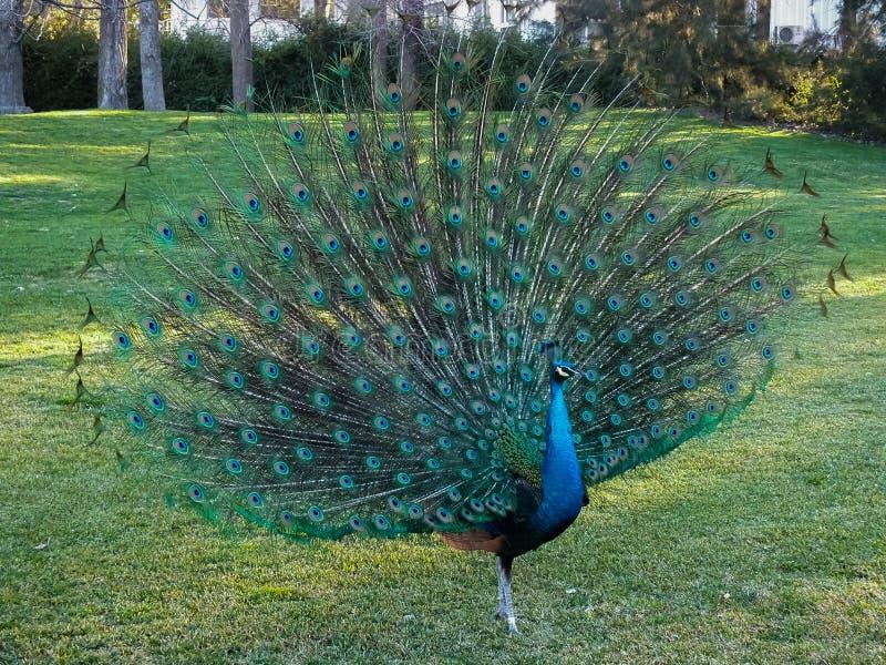 peacock imagem de stock