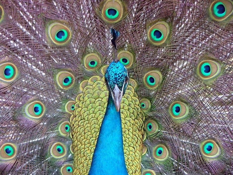 peacock foto de stock royalty free