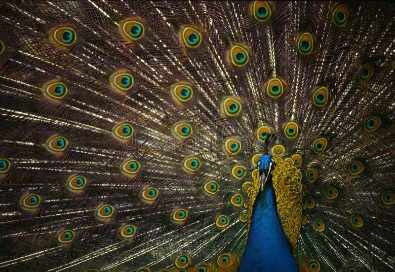 Peacock royalty free stock photo