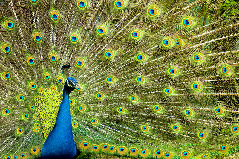 Peacock. Male peacock with erected expanded colorfull tail stock photos