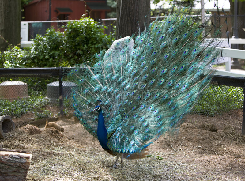 Download Peacock stock photo. Image of wild, beauty, animals, peafowl - 5097482