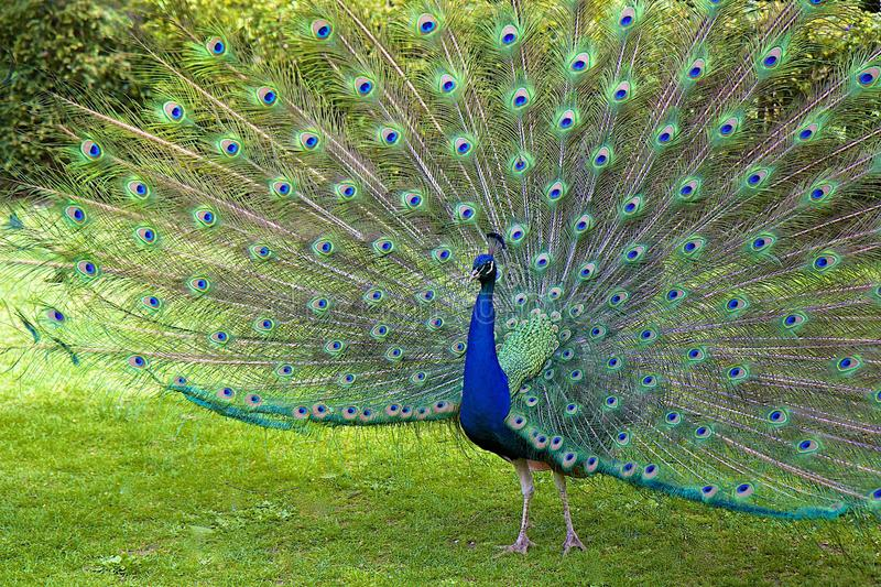 peacock immagine stock
