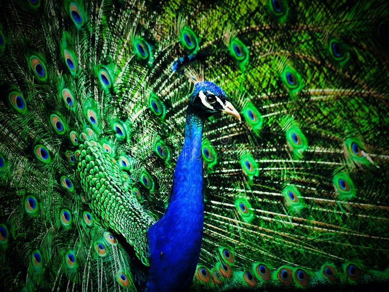 peacock fotos de stock royalty free