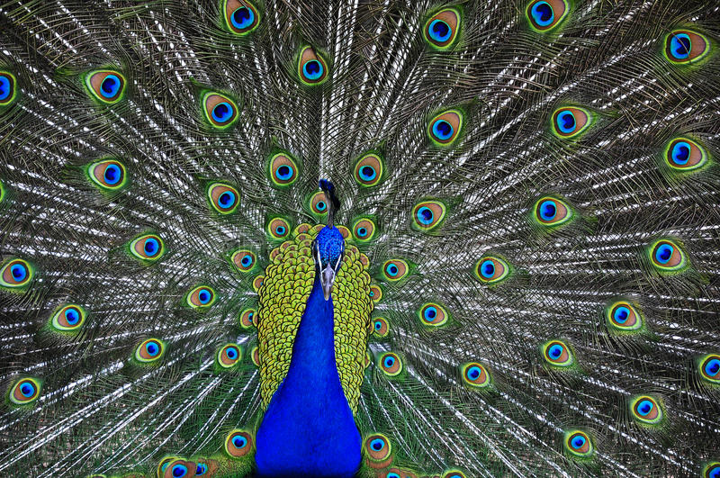 peacock fotografia stock