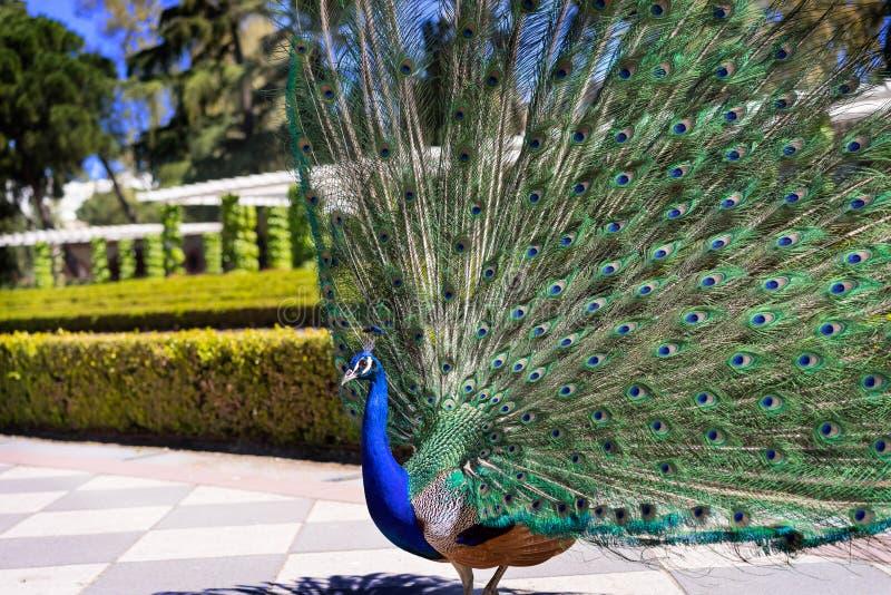 Peacock1 imagens de stock