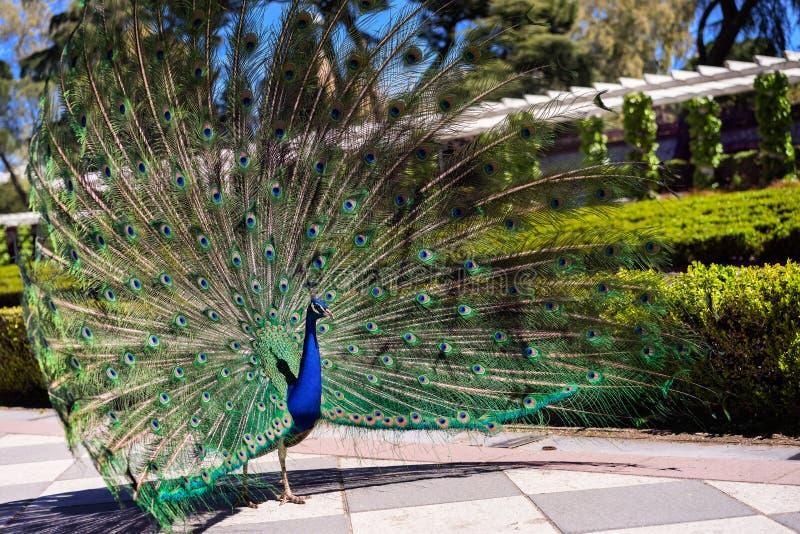 Peacock2 fotos de stock