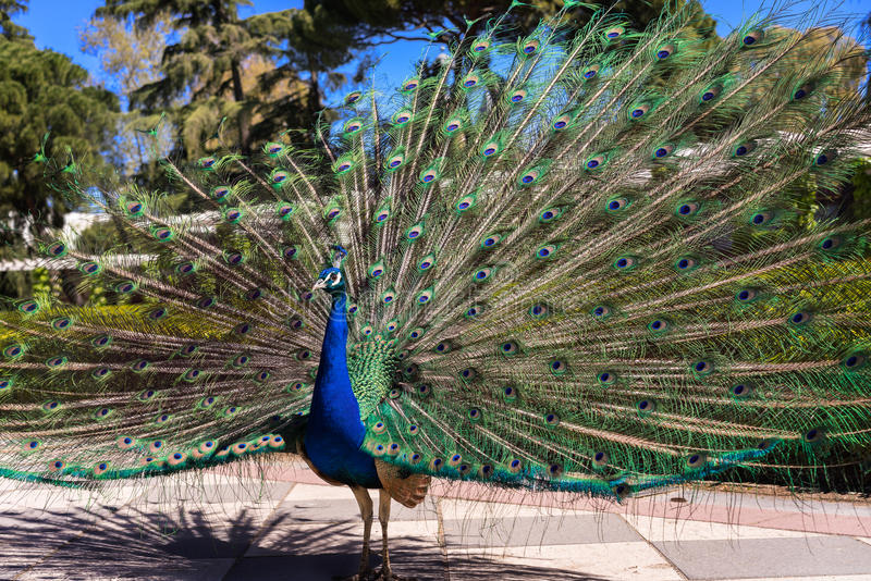 Peacock3 imagens de stock royalty free