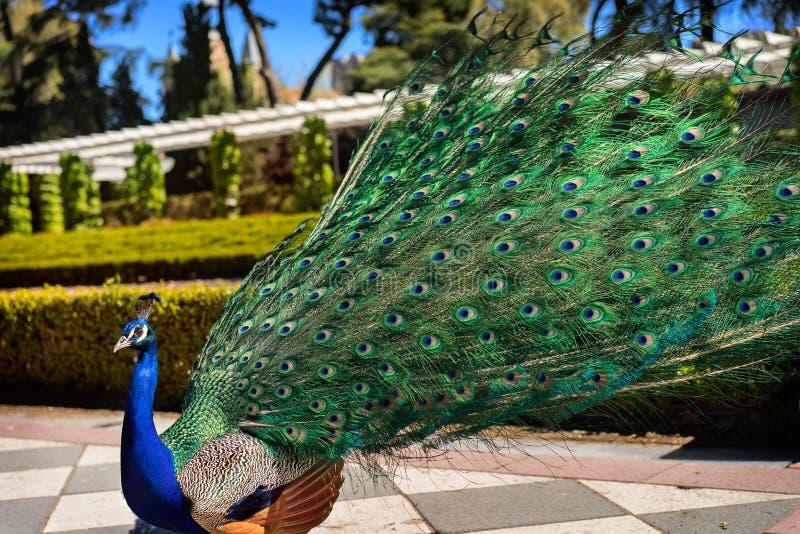 Peacock4 foto de stock